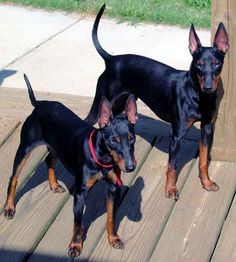 This is what I need!!! A little sister for my son!!!  MANCHESTER TERRIER