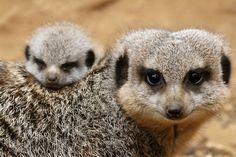 Meerkat kit and mom - from Zooborns