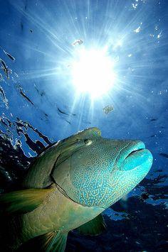 Napoleó Fish Gran Barrera de Corall  (Austràlia)