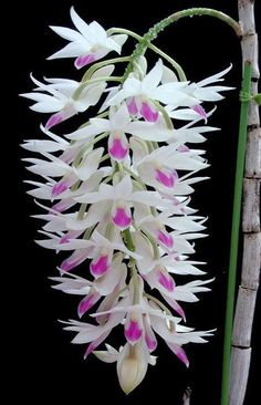 Dendrobium Amethystoglossum orchids in full bloom Unusual Flowers, Rare Flowers, Flowers Nature, Amazing Flowers, Beautiful Flowers, Orchid Flowers, Strange Flowers, Purple Orchids, Simply Beautiful