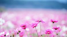 new wallpaper for iphone 6 - Bing images Flower Desktop Wallpaper, Iphone 6 Wallpaper, Pink Wallpaper, Cool Wallpaper, Wallpaper Backgrounds, Computer Backgrounds, Pattern Wallpaper, Hd Wallpapers For Pc, Pretty Wallpapers