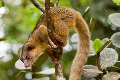 Descubierta una nueva especie de mamífero en los Andes, el olinguito.
