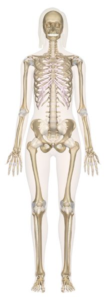 Human Anatomy: Learn All About the Human Body at InnerBody.com