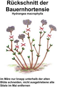 ᐅ ᐅ】 Hydrangea care 2020 - cut, multiply, hibernate-【ᐅ】Hortensien Pflege 2020 – Schneiden, vermehren, überwintern Cut hydrangeas - Garden Care, Jardin Vertical Artificial, Hydrangea Care, Design Jardin, Modern Garden Design, Hydrangea Macrophylla, Romantic Flowers, Diy Garden Projects, Garden Ideas