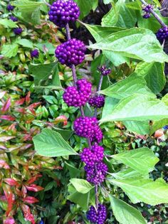 Callicarpa dichotoma (American Beautyberry), puts on a stunning show in the fall wildlife garden. Birds feast on the berries.