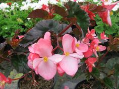 """Begonia 