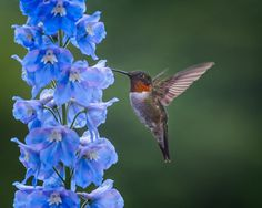 Ruby-throated Hummingbird by Wernerg's Photography