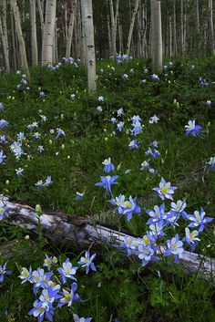 ~ photographer : Nate Zeman - White River National Forest, Colorado ; aspen grove & blue columbines