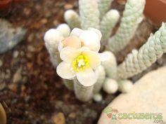 Avonia papyracea ssp namaensis Sinónimos: Avonia papyracea subsp. namaensis. Fotografía tomada por Susana-R-