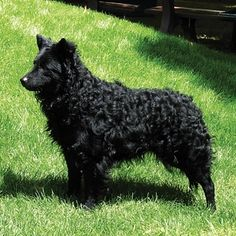 Mudi   21 Awesome Dog Breeds You've Never Heard Of And Need To Know About Immediately