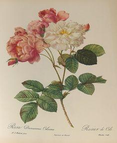Pierre Joseph Redouté(1759-1840)
