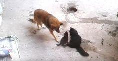 Iso koira kävelee kissan luokse. Mitä se tekee kissanpennuille? Onpa tämä kaunista!