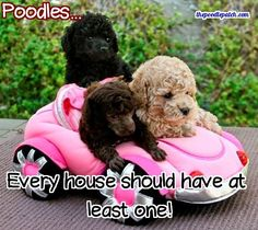 POODLES EVERY HOUSE SHOULD HAVE AT LEAST ONE!!!