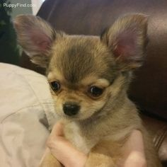 Chihuahua Pictures (x172a31jeq3)