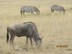 wilder beast and zebra