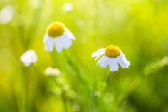 2680x1787 Widescreen Wallpaper: camomile