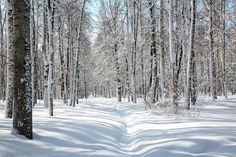 Winter birchstand.