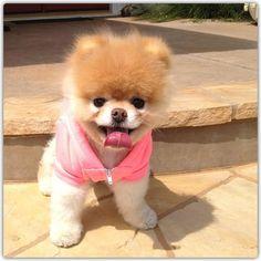 Shaved Pomeranian=cutest dog ever♥