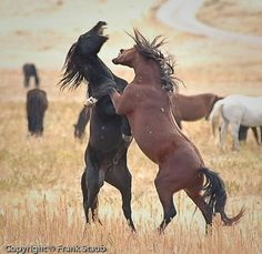 Wild Horses - Fighting for a mare's attention.