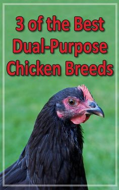 3 of The Best Dual-Purpose Chicken Breeds - Backyard Poultry Chicken Breeds Chart, Rare Chicken Breeds, Bantam Chicken Breeds, Bantam Chickens, Backyard Poultry, Backyard Chicken Coops, Chickens Backyard, Keeping Chickens, Raising Chickens