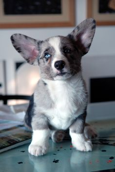 Cardigan Welsh Corgi puppy.