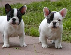 Pied Frenchie Puppies. My Tucker looks like the one with one black eye.