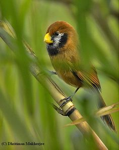 Black-breasted Parrotbill