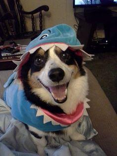 shark-corgi, no snack is safe, no squeaky will be  left un-bit. Z