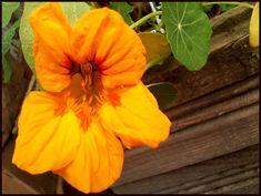 Cum se cultiva condurasii din seminte - magazinul de acasă Cottages, Garden, Plants, Agriculture, Growing Up, Life, Cabins, Garten, Country Homes