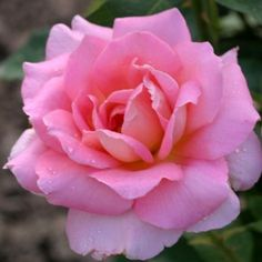 "Tiffany rose. Tall, vigorous growth produces very fragrant, large high centered, classic hybrid tea blooms of pink and yellow blend, perfect for cutting. Dark green, healthy foliage. 4"" blooms with 28 petals."