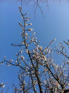 primavera de kyoto