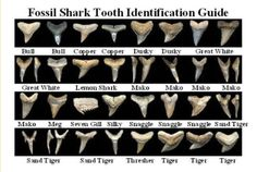 fossil shark tooth identification guide