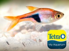 Originally from Southeast Asia, this popular schooling fish is peaceful and a good community fish excellent for beginners.  Freshwater Top/Mid Feeder Skill Level: Great beginner fish Daily Diet: Tetra® Tropical Flakes Supplement: TetraMin® Select-a-Food Treats: Tetra® BabyShrimp   For more information on fish types and diets visit www.tetra-fish.com or download the free My Aquarium App. Tetra Fish, Aquarium Set, Aquarium Maintenance, All Fish, Cichlids, Colorful Fish, Freshwater Fish, Betta, Flakes