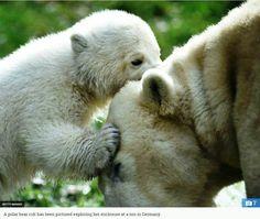 Polar Bear Cub Cuddling Her Mom !