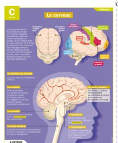 Le cerveau Teaching French, French Classroom, Brain Gym, French Language Learning, English Language, Medical, Mind Up, Science Biology, Teaching