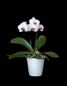 If you keep orchids, sooner or later they will need repotting. In most cases, repotting is necessary, not because the orchid has outgrown its container, but because the growing medium has started to decay and restrict the flow of air to the orchid's roots.