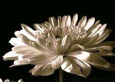 Daisy Floral Photography GerberaGerber by VanillaExtinction, $8.00