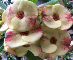 Your place to buy and sell all things handmade Indoor Flowers, All Flowers, Colorful Flowers, Beautiful Flowers, Garden Sprinklers, Euphorbia Milii, Big Plants, Mother Plant, Crown Of Thorns