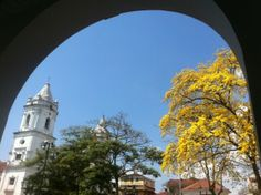 Guayacanes blooming with the first rain of March. Beautiful Casco Viejo!