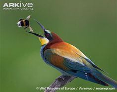 And that's why it's called a Bee-Eater! Photo via Wild Wonders of Europe / Varesvuo / naturepl.com