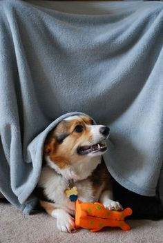Like kids, Corgis love blanket forts!