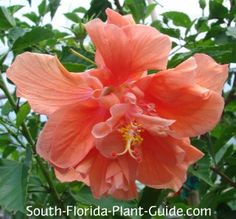 Hibiscus Hibiscus rosa-sinensis Whats a South Florida yard without a hibiscus? With a veritable rainbow of flower colors to choose from, this shrub is one of our most popular landscape plants - with some of the showiest blossoms on earth.