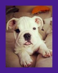English Bulldog Puppies For Sale Wholesale Suppliers Cutest English Bulldog Puppies Cu In 2020 English Bulldog Puppies Bulldog Puppies Bulldog Puppies For Sale