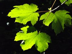 I was really pleased with this photo, the leaves are illuminated from above by the sunlight.