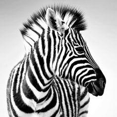 Toile zebre 59,99€