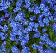 coisas e loisas - flores: miosotis