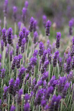Ahh...Lavender. :)