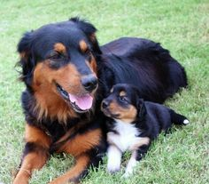 English Shepherds - such beautiful and sweet dogs English Shepherd Puppy, Shepherd Dog, Shepherd Puppies, Collie Dog, Border Collie, Farm Dogs, Crazy Dog Lady, Dogs And Puppies, Doggies