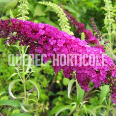 Arbre aux papillons Buddleia Charming 2m x 2m,  Zq 5