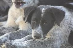'DABBLE' is an adoptable Australian Cattle Dog (Blue Heeler) Dog in Lacombe, AB. 'IV'E BEEN AWAITING ADOPTION SINCE JULY 22ND 2012' 'DABBLE WAS BORN MAY 2 2013, AND IS ONE OF 4 SURRENDERED TO THE SHEL...